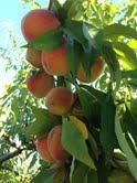 www.striblingorchard.com